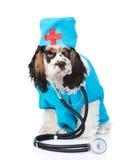 El perrito de cocker spaniel se vistió en doctor de la ropa con el estetoscopio Aislado en blanco imagenes de archivo