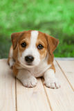 El perrito de Jack Russell Terrier al aire libre miente en el piso de madera Foto de archivo