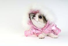 El perrito de la chihuahua se vistió en una chaqueta rosada Fotos de archivo libres de regalías