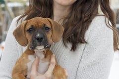 El perrito de Labrador del boxeador parece frío en invierno Fotografía de archivo libre de regalías