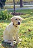 El perrito de Labrador se sienta en la hierba foto de archivo