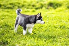 El perrito de Laika en la hierba Foto de archivo libre de regalías
