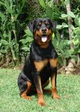 El perrito de Rottweiler se sienta Imágenes de archivo libres de regalías