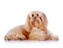 El perrito decorativo beige miente en un fondo blanco. Foto de archivo