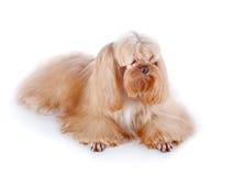 El perrito decorativo beige miente en un fondo blanco Imágenes de archivo libres de regalías
