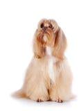 El perrito decorativo beige se sienta en un fondo blanco. Foto de archivo libre de regalías
