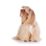 El perrito decorativo beige se sienta en un fondo blanco. Fotos de archivo libres de regalías
