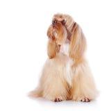 El perrito decorativo beige se sienta en un fondo blanco Fotos de archivo libres de regalías