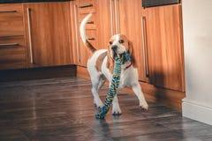 El perrito del beagle que juega con mastica el juguete imagenes de archivo