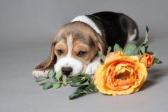 El perrito del beagle y subió Foto de archivo