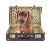 El perrito del Dachshund se sienta en una maleta de la vendimia Imagen de archivo