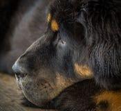 El perrito del mastín tibetano Imagen de archivo