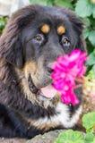El perrito del mastín tibetano Foto de archivo