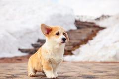 El perrito del pembroke rojo divertido del corgi gal?s camina al aire libre, funcionamiento, divirti?ndose en el parque blanco de fotografía de archivo