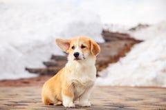 El perrito del pembroke rojo divertido del corgi gal?s camina al aire libre, funcionamiento, divirti?ndose en el parque blanco de fotos de archivo