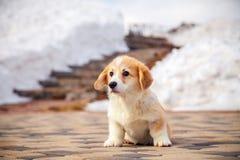 El perrito del pembroke rojo divertido del corgi gal?s camina al aire libre, funcionamiento, divirti?ndose en el parque blanco de imágenes de archivo libres de regalías