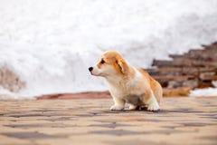 El perrito del pembroke rojo divertido del corgi gal?s camina al aire libre, funcionamiento, divirti?ndose en el parque blanco de foto de archivo