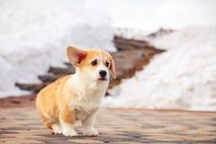 El perrito del pembroke rojo divertido del corgi gal?s camina al aire libre, funcionamiento, divirti?ndose en el parque blanco de fotos de archivo libres de regalías