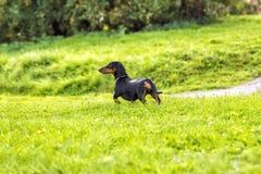 El perrito del perro basset en la hierba Imagen de archivo