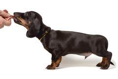 El perrito del perro basset se coloca oblicuo, mano que sostiene la carne aislada en un fondo blanco fotos de archivo