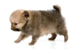 El perrito del perro de Pomerania-perro fotografía de archivo libre de regalías
