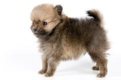 El perrito del perro de Pomerania-perro imagen de archivo libre de regalías