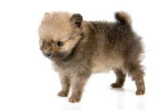 El perrito del perro de Pomerania-perro imágenes de archivo libres de regalías