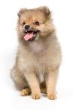 El perrito del perro de Pomerania-perro imagenes de archivo