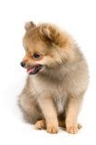 El perrito del perro de Pomerania-perro foto de archivo