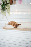 El perrito del perro es el dormir aislado fotos de archivo