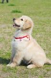 El perrito del perro perdiguero de oro se sienta Imagenes de archivo