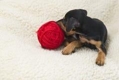 El perrito del Pinscher miniatura Fotos de archivo