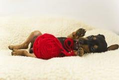 El perrito del Pinscher miniatura Fotos de archivo libres de regalías