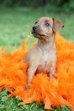 El perrito del Pinscher miniatura Imágenes de archivo libres de regalías