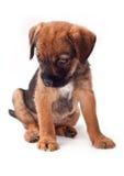 El perrito del terrier de frontera mira interesante Fotografía de archivo