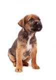 El perrito del terrier de frontera mira para arriba Imagen de archivo libre de regalías