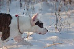 El perrito del terrier de Staffordshire americano está caminando en la nieve blanca Animales de animal doméstico Fotografía de archivo