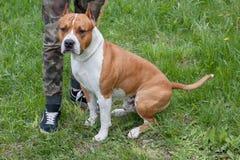 El perrito del terrier de Staffordshire americano se está colocando en un prado verde con su dueño Animales de animal doméstico imagenes de archivo