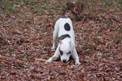 El perrito del terrier de Staffordshire americano se está divirtiendo en el follaje del otoño Imagen de archivo