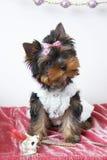 El perrito del terrier de yorkshire Fotografía de archivo