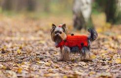 El perrito del terrier de Yorkshire con una cola de caballo en un jersey rojo camina en el parque Imagen de archivo