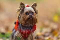 El perrito del terrier de Yorkshire con una cola de caballo en un jersey rojo pega hacia fuera la lengua Fotos de archivo