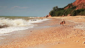 El perrito divertido del beagle quiere nadar solamente las ondas asustadas metrajes