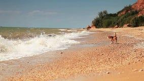 El perrito divertido del beagle quiere nadar solamente las ondas asustadas almacen de video