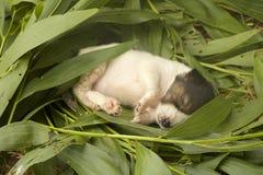 El perrito el dormir Imagenes de archivo
