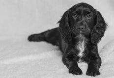 El perrito el dormir Fotografía de archivo libre de regalías