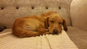 El perrito el dormir Foto de archivo libre de regalías