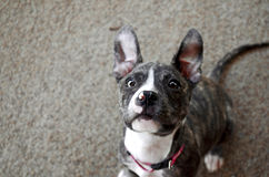 El perrito es todos los oídos fotos de archivo