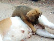 El perrito está amamantando encima de la leche del perro de la madre foto de archivo