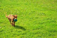 El perrito está corriendo en la hierba Imagenes de archivo